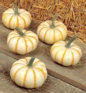 L'il Pump-ke-mon (Hybrid Pumpkin)