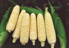 Navajo (SE corn, hybrid, bicolor)