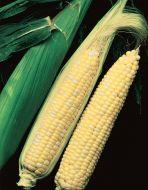 Temptation (SE corn, hybrid, bicolor)