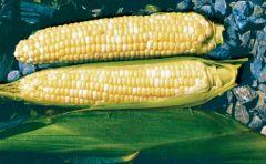 Fastlane (SE corn, hybrid, bicolor)