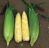 Sweetness Synergistic (corn, hybrid, bicolor)