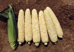 Luscious TSW® (SE corn, hybrid, bicolor)