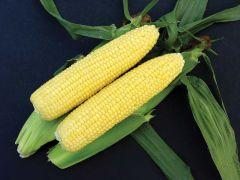 Gourmet Sweet™ Brand Vision MXR Corn (Hybrid, yellow)
