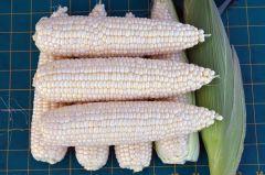 Gourmet Sweet™ Brand SV1580SC Corn (Hybrid, white)