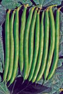 Lewis (Green Beans Bush)