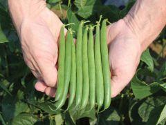 Bowie (Green Beans Bush)