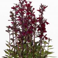Starship™ Burgundy (Lobelia Pellets)