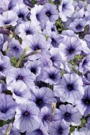 Celebrity Blue Ice (Petunia/multiflora/pelleted)