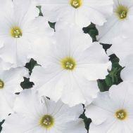 Dreams White (Petunia/grandiflora/pellets)