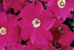 Dreams Neon Rose (Petunia/grandiflora/pellets)