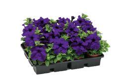 TriTunia Blue (Petunia/grandiflora/pelleted)