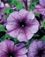 TriTunia Blue Veined (Petunia/grandiflora/pelleted)