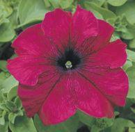 TriTunia Burgundy (Petunia/graniflora/pelleted)