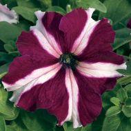 TriTunia Crimson Star (Petunia/grandiflora/pelleted)