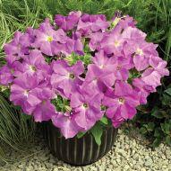 TriTunia Lavender (Petunia/grandiflora/pelleted)
