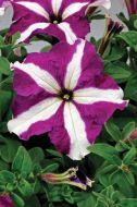TriTunia Purple Star (Petunia/grandiflora/pelleted)