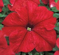 TriTunia Red (Petunia/grandiflora/pelleted)