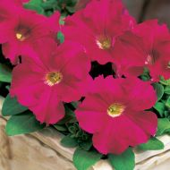 TriTunia Rose (Petunia/grandiflora/pelleted)