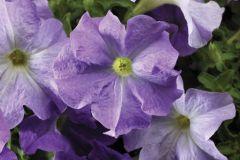 TriTunia Sky Blue (Petunia/grandiflora/pelleted)
