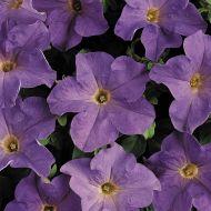 Dreams Sky Blue (Petunia/grandiflora/pellets)