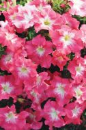 Dreams Coral Morn (Petunia/grandiflora/pellets)