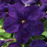 EZ Rider Blue (Petunia/grandiflora/pelleted)