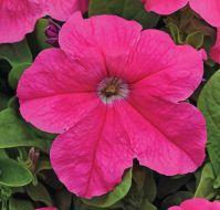 EZ Rider Deep Pink (Petunia/grandiflora/pelleted)