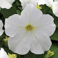 EZ Rider White (Petunia/grandiflora/pelleted)