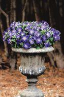 Sophistica® Blue Morn (Petunia/grandiflora/pelleted)