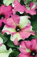 Sophistica® Lime Bicolor (Petunia/grandiflora/pelleted)