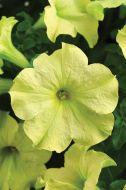 Sophistica® Lime Green (Petunia/grandiflora/pelleted)