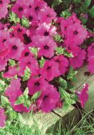 Purple Classic Wave® (Petunia/multiflora/pelleted)