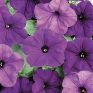 Easy Wave® Blue (Petunia/multiflora/pelleted)