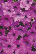 Easy Wave® Violet (Petunia/multiflora/pelleted)