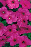 Easy Wave® Neon Rose (Petunia/multiflora/pelleted)
