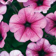Easy Wave® Rose Fusion (Petunia/multiflora/pelleted)
