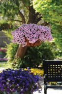 Shock Wave™ Pink Vein (Petunia/milliflor/pelleted)