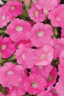 Shock Wave™ Rose (Petunia/milliflora/pelleted)