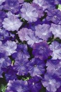Shock Wave™ Denim (Petunia/milliflora/pelleted)