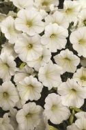 Shock Wave™ Coconut (Petunia/milliflora/pelleted)
