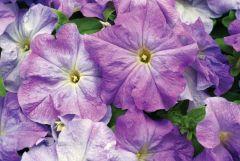 Limbo GP Sky Blue (Hybrid Petunia Pellets)