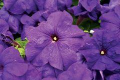 Limbo GP Mid Blue (Hybrid Petunia Pellets)