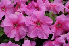 Limbo GP Heather's Mix  (Petunia/grandiflora/pelleted)