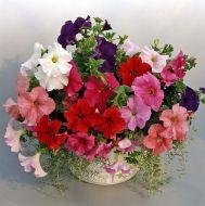 Supercascade Mix (Petunia/grandiflora/pelleted)