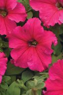Supercascade Rose (Petunia/grandiflora/pelleted)