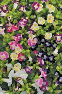 Kauai™ Mix (Torenia/pelleted)