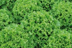 Bergams Green (Lettuce/looseleaf/pelleted)