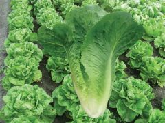 Arroyo M.I. (Lettuce/Romaine/pelleted)