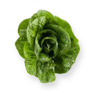 Salvius M.I. (Lettuce/pelleted)