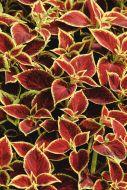 Premium Sun Crimson Gold  (Coleus)